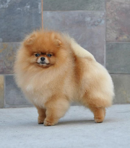 Pomeranian adults and puppies for sale! Public Group